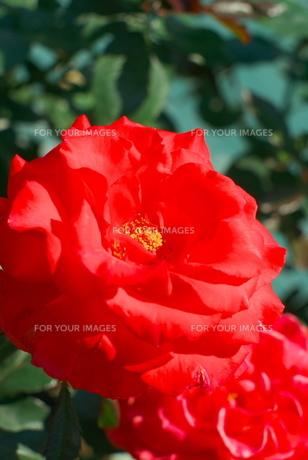 鮮やかな赤色のバラの素材 [FYI00108860]