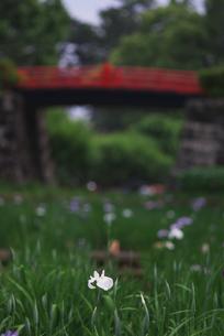 白い菖蒲と赤い橋の素材 [FYI00108861]