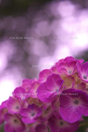 ピンクの紫陽花の素材 [FYI00108869]