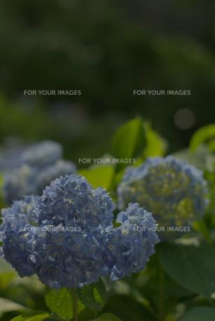 満開の紫陽花の素材 [FYI00108871]
