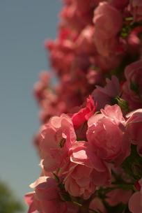 淡い赤いバラの壁の素材 [FYI00108876]