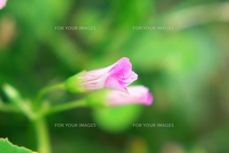 野の花の素材 [FYI00108877]