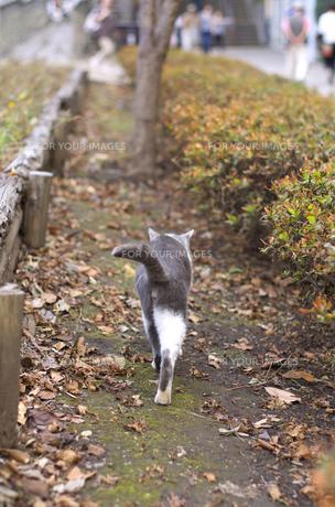 江ノ島島内に住む野良猫の後姿の素材 [FYI00108898]