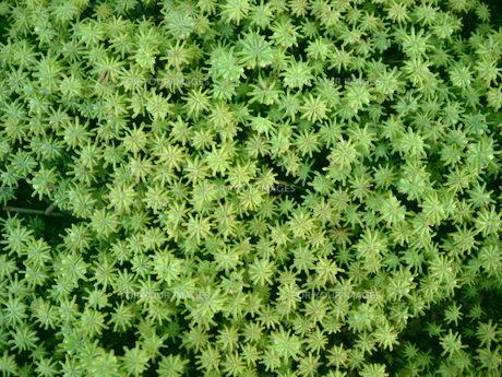 苔の写真素材 [FYI00108967]