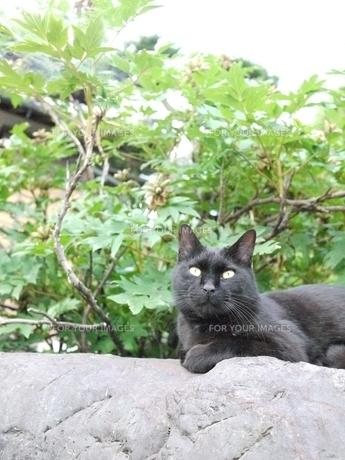 日本黒猫の写真素材 [FYI00108994]