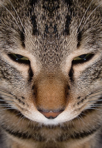 猫 顔アップの写真素材 [FYI00109044]
