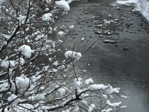 木に積もった雪と利根川の写真素材 [FYI00109098]