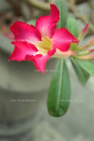 赤い花アデニウムの写真素材 [FYI00109406]