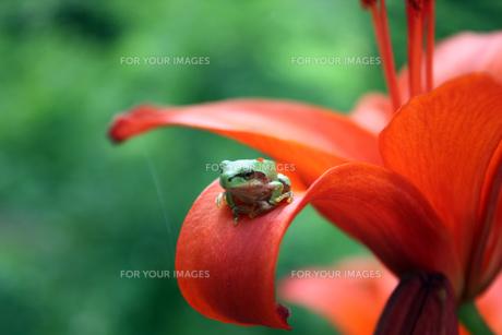 百合の花とアマガエルの素材 [FYI00109515]