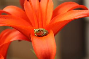 百合の花とアマガエルの素材 [FYI00109535]