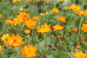 オレンジ色のコスモスの写真素材 [FYI00109580]