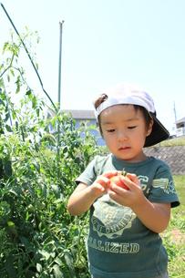 トマトを見つめる男の子の写真素材 [FYI00109766]
