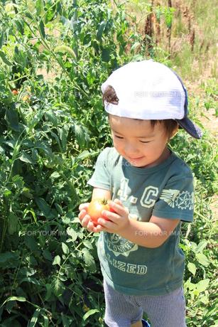 美味しそうなトマトの写真素材 [FYI00109768]