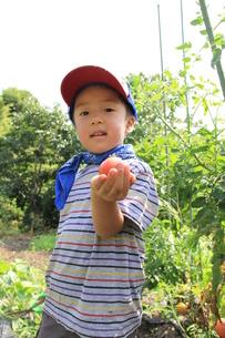 トマトが採れたよの写真素材 [FYI00109943]