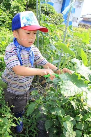 キュウリを採る男の子の写真素材 [FYI00109950]