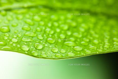 グリーンとしずくのクローズアップの素材 [FYI00110031]