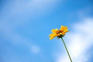 黄色い野花と青空の写真素材 [FYI00110034]