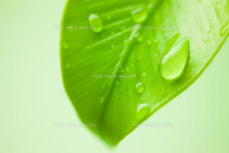 新緑と水滴のクローズアップの素材 [FYI00110037]