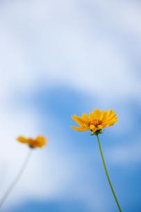 黄色い野花と青空の写真素材 [FYI00110041]