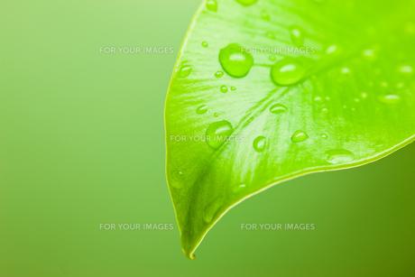 オオタニワタリの葉先に水滴の素材 [FYI00110047]