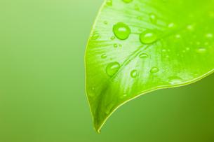 オオタニワタリの葉先に水滴の写真素材 [FYI00110047]