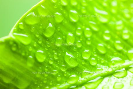 葉脈と水滴のクローズアップの写真素材 [FYI00110048]