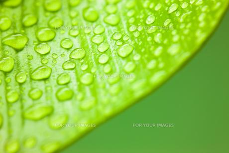 新緑の葉の上に水滴が滴るクローズアップの素材 [FYI00110052]