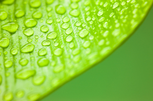 新緑の葉の上に水滴が滴るクローズアップの写真素材 [FYI00110052]