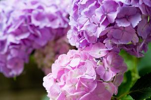 紫陽花の写真素材 [FYI00110055]