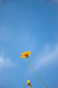 黄色い野花と青空の写真素材 [FYI00110056]