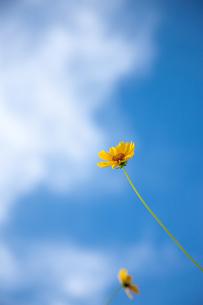 黄色い野花と青空の写真素材 [FYI00110058]