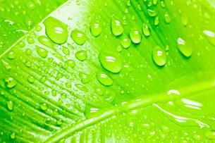 水滴がついたオオタニワタリの写真素材 [FYI00110065]