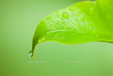 葉先にしずくが滴るクローズアップの素材 [FYI00110066]