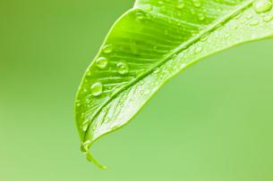 オオタニワタリの葉先に水滴の写真素材 [FYI00110067]