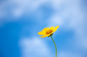 黄色い野花と青空の写真素材 [FYI00110071]