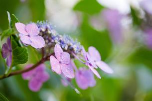 紫陽花の写真素材 [FYI00110074]