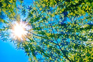 緑の紅葉と青空と太陽の写真素材 [FYI00110099]