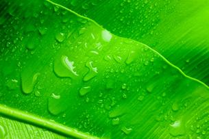 水滴がついたオオタニワタリの写真素材 [FYI00110106]