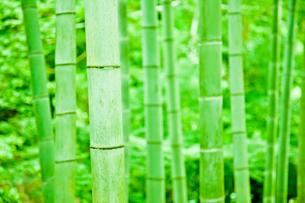 緑の竹林の写真素材 [FYI00110121]