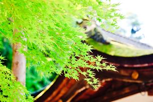 緑の紅葉と神社の写真素材 [FYI00110123]