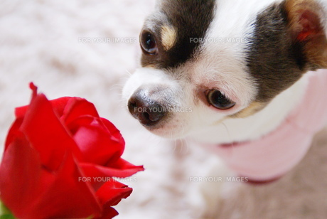 赤い薔薇を見つめるチワワの写真素材 [FYI00110519]