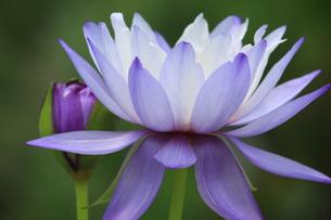 紫の蓮スイレンの写真素材 [FYI00110588]