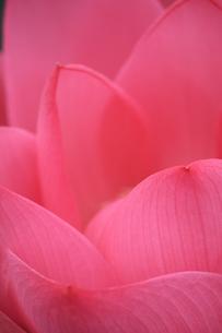 蓮ピンク色の癒しの写真素材 [FYI00110590]