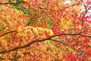 絵札のような紅葉の写真素材 [FYI00110599]