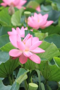 蓮の花の写真素材 [FYI00110626]