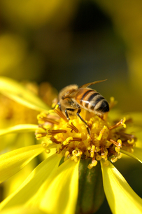 ミツバチのキュートなヒップの写真素材 [FYI00110672]