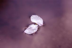 水面の桜_出会い_桜色の写真素材 [FYI00110686]