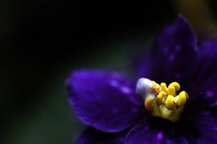 蝶のようなラン_紺瑠璃の写真素材 [FYI00110711]