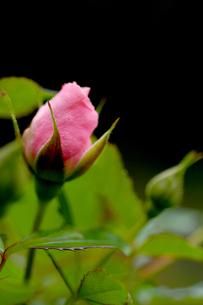 ピンクローズのつぼみの写真素材 [FYI00110714]