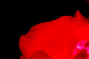 バラの花びら_真紅色bの写真素材 [FYI00110721]